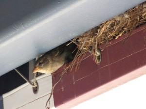alexandria bird control, bird removal, bird in vent