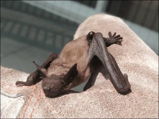 Types Of Bats In Virginia Alexandria Bat Control