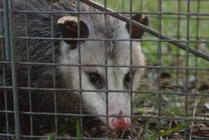 Possum 064
