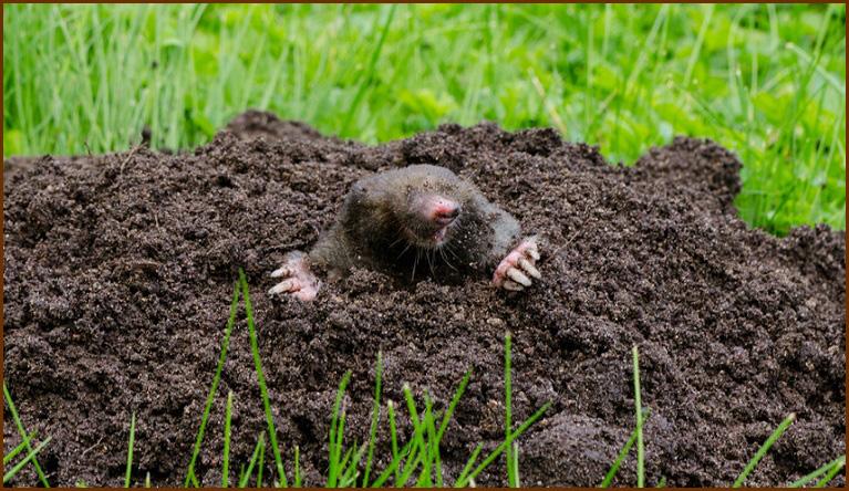 Alexandria Mole Trapping Alexandria Wildlife Removal