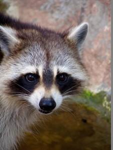 alexandria raccoon control